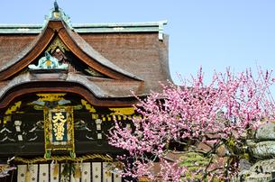 京都 北野天満宮の梅と本殿の写真素材 [FYI00543049]