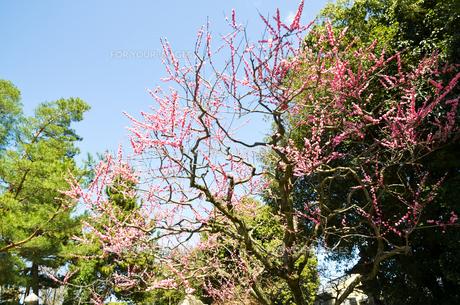 京都 北野天満宮の梅と本殿の写真素材 [FYI00543051]