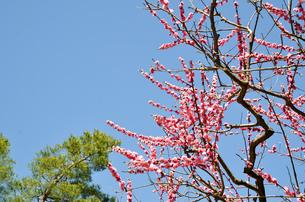 京都 北野天満宮の梅と本殿の写真素材 [FYI00543053]