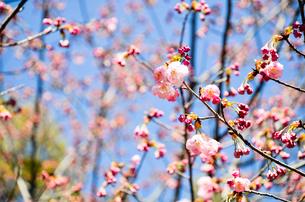 京都 平野神社の桜の写真素材 [FYI00543055]