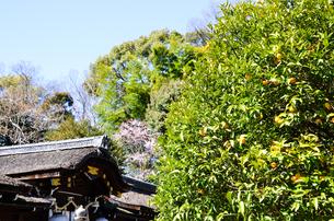 京都 平野神社の橘の実の写真素材 [FYI00543058]