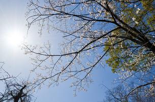 京都 平野神社の桜の写真素材 [FYI00543060]