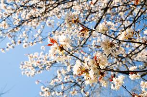 京都 平野神社の桜の写真素材 [FYI00543061]