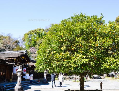 京都 平野神社の橘の実の写真素材 [FYI00543062]