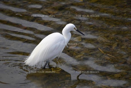芥川で集中して獲物を探すコサギの写真素材 [FYI00543495]