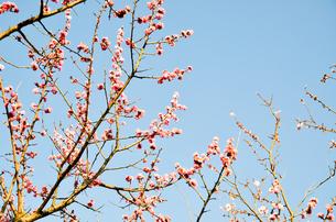 夕方の京都御苑の梅の花の写真素材 [FYI00543687]