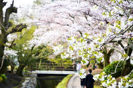 京都 哲学の道の桜の写真素材 [FYI00543694]