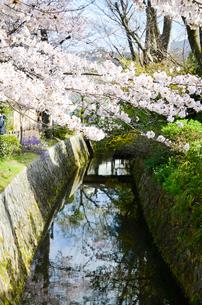 京都 哲学の道の桜の写真素材 [FYI00543700]