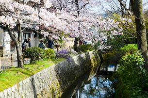京都 哲学の道の桜の写真素材 [FYI00543702]