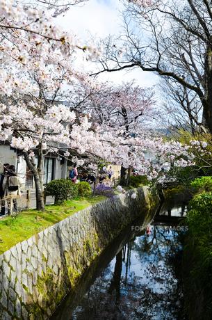 京都 哲学の道の桜の写真素材 [FYI00543703]