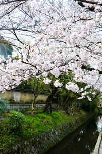 京都 哲学の道の桜の写真素材 [FYI00543705]