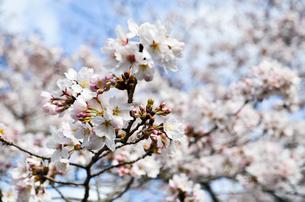 京都 哲学の道の桜の写真素材 [FYI00543710]