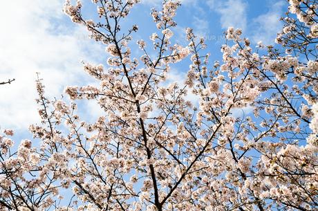 京都 哲学の道の桜の写真素材 [FYI00543712]