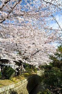 京都 哲学の道の桜の写真素材 [FYI00543713]