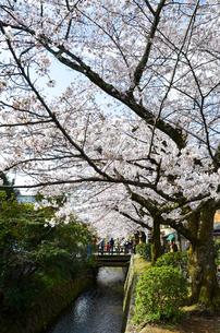 京都 哲学の道の桜の写真素材 [FYI00543714]