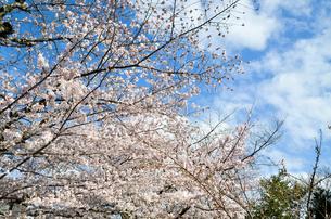 京都 哲学の道の桜の写真素材 [FYI00543715]