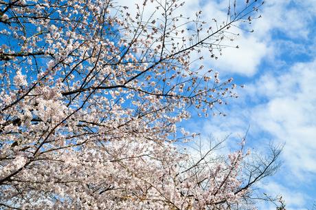 京都 哲学の道の桜の写真素材 [FYI00543716]
