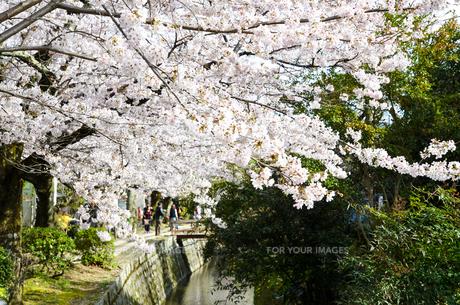 京都 哲学の道の桜の写真素材 [FYI00543718]
