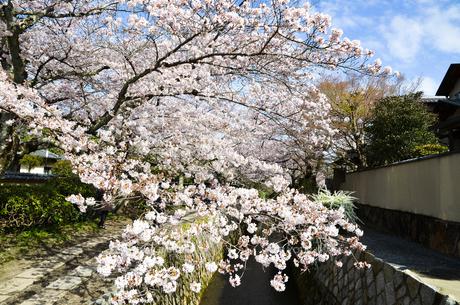 京都 哲学の道の桜の写真素材 [FYI00543721]