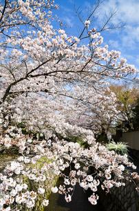 京都 哲学の道の桜の写真素材 [FYI00543722]