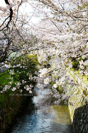 京都 哲学の道の桜の写真素材 [FYI00543723]