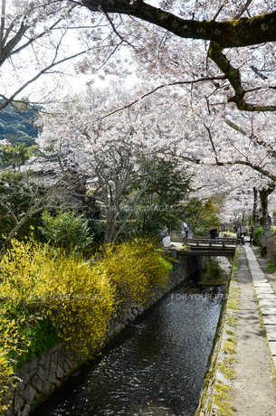 京都 哲学の道の桜と黄色い花の写真素材 [FYI00543724]
