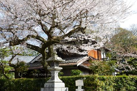 京都 哲学の道の桜の写真素材 [FYI00543725]