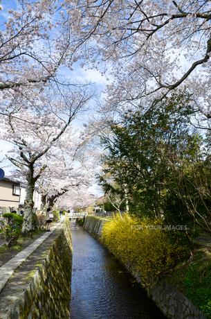 京都 哲学の道の桜と黄色い花の写真素材 [FYI00543727]