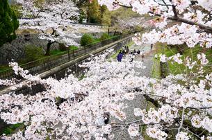 京都 蹴上インクラインの桜の写真素材 [FYI00543734]