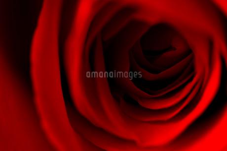 赤い薔薇の写真素材 [FYI00543736]