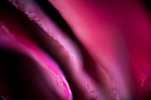 ピンクの薔薇の写真素材 [FYI00543740]