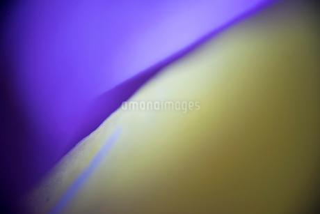 すみれ草の花びらの写真素材 [FYI00543744]