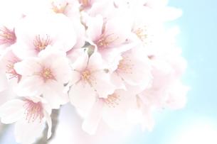 sakura... 2016の写真素材 [FYI00543893]