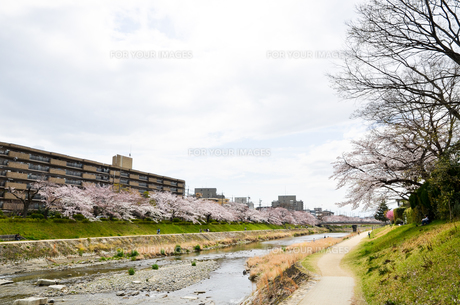 京都 高野川沿いの桜の写真素材 [FYI00544530]
