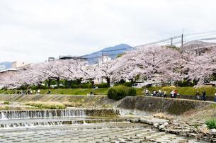 京都 高野川沿いの桜と比叡山の写真素材 [FYI00544532]