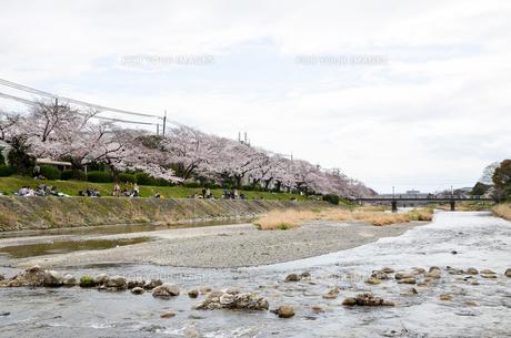 京都 高野川沿いの桜と比叡山の写真素材 [FYI00544534]