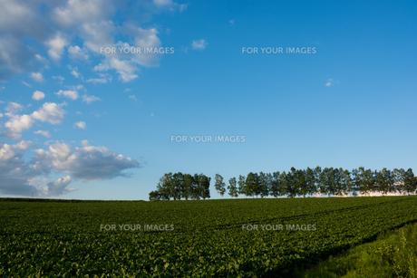 初夏の野菜畑と青空の写真素材 [FYI00544678]