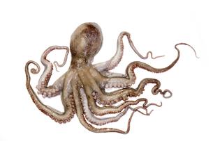 なま蛸の写真素材 [FYI00544741]