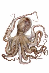 なま蛸の写真素材 [FYI00544743]