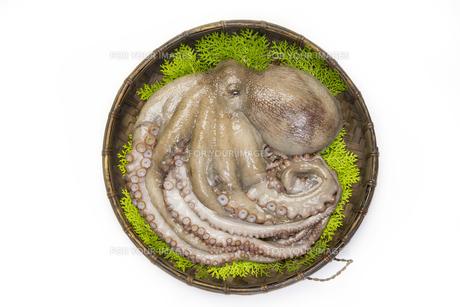 なま蛸の写真素材 [FYI00544747]