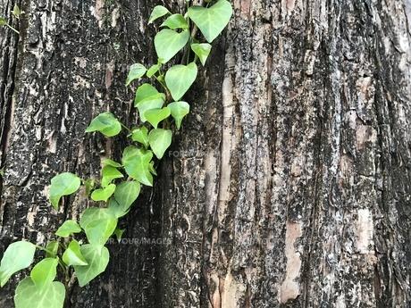 巨木と葉っぱの写真素材 [FYI00545160]