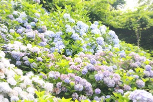 紫陽花の写真素材 [FYI00545265]