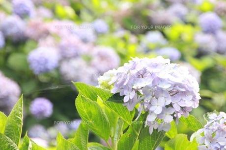 紫陽花の写真素材 [FYI00545266]