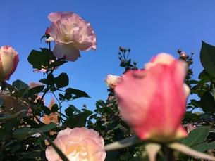 薔薇の写真素材 [FYI00545289]