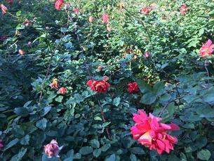 薔薇の写真素材 [FYI00545292]