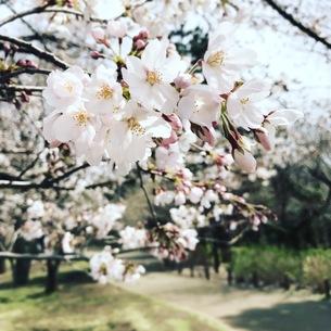 ソメイヨシノの写真素材 [FYI00545750]