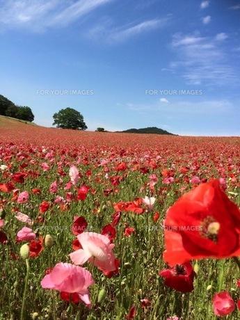 花畑の写真素材 [FYI00546819]