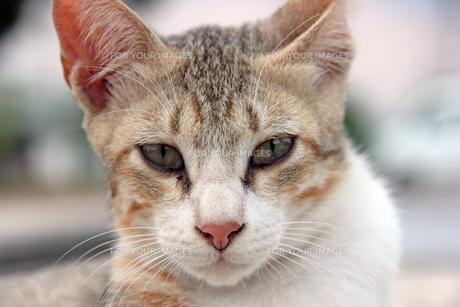パステル三毛猫の顔アップの写真素材 [FYI00547167]