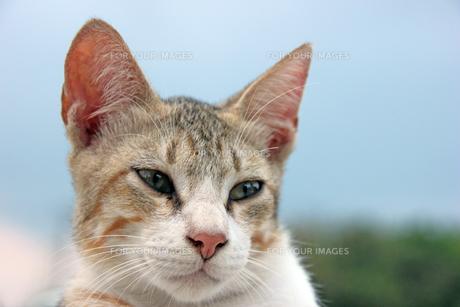 パステル三毛猫の顔アップの写真素材 [FYI00547169]