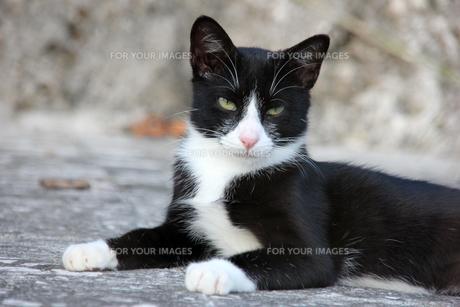 腹ばいでくつろぐ猫の写真素材 [FYI00547178]